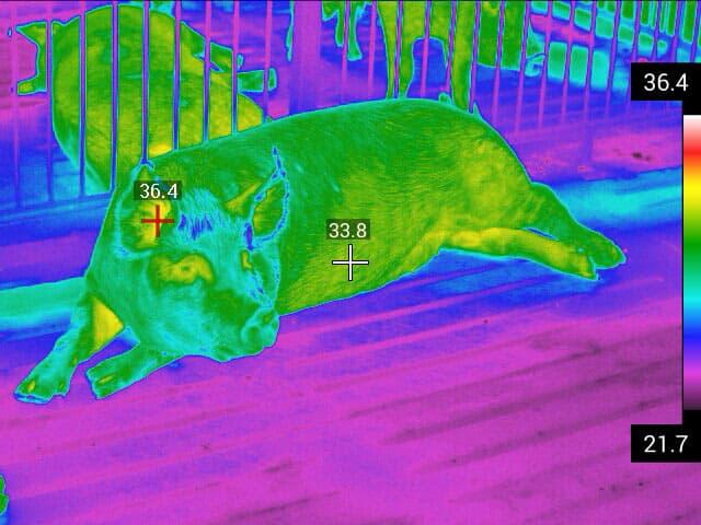 imagen termográfica cerdo